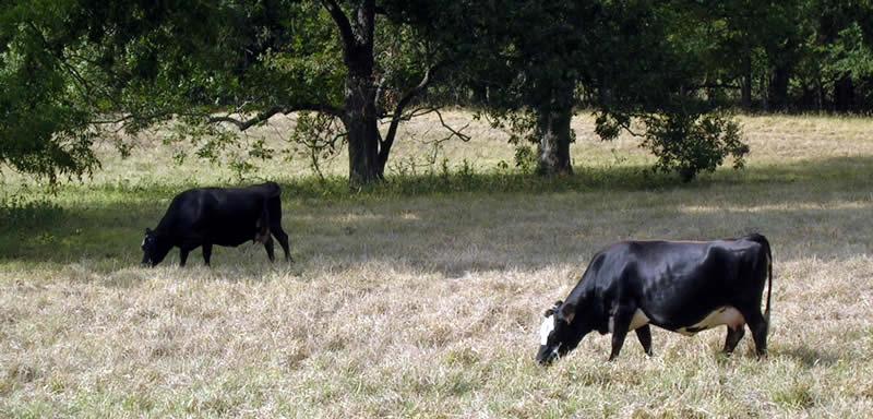 Gentle Cows